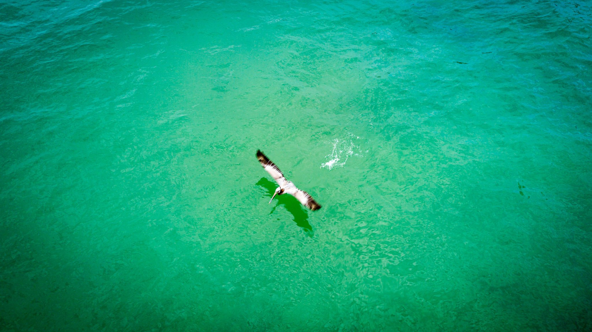 A Brown Pelican takes off over a turquoise Pacific Ocean.